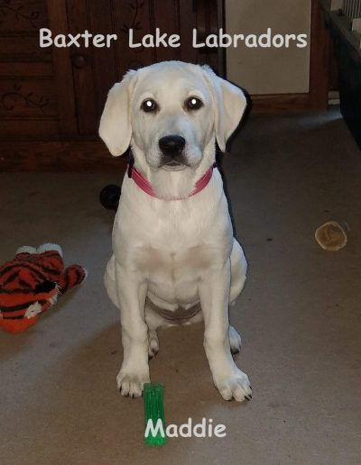 Maddie White Lab Female For Sale MN