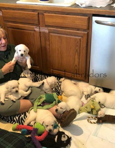 Labrador Retriever Puppies 05-06-2019