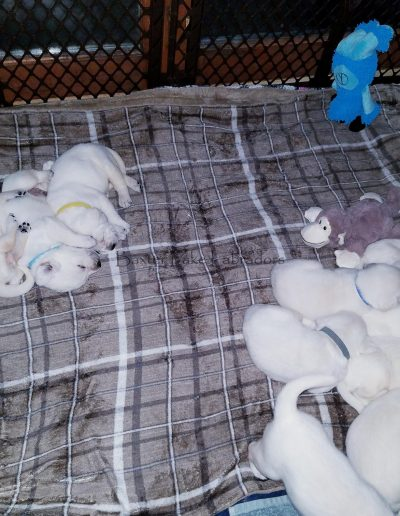 Labrador Retriever Puppies 05-01-2019