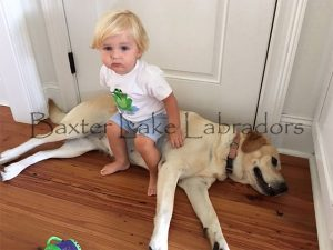 Labradors are very good with babies and small children
