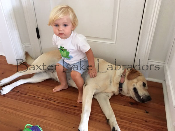 Labradors are very good with babies and small children.