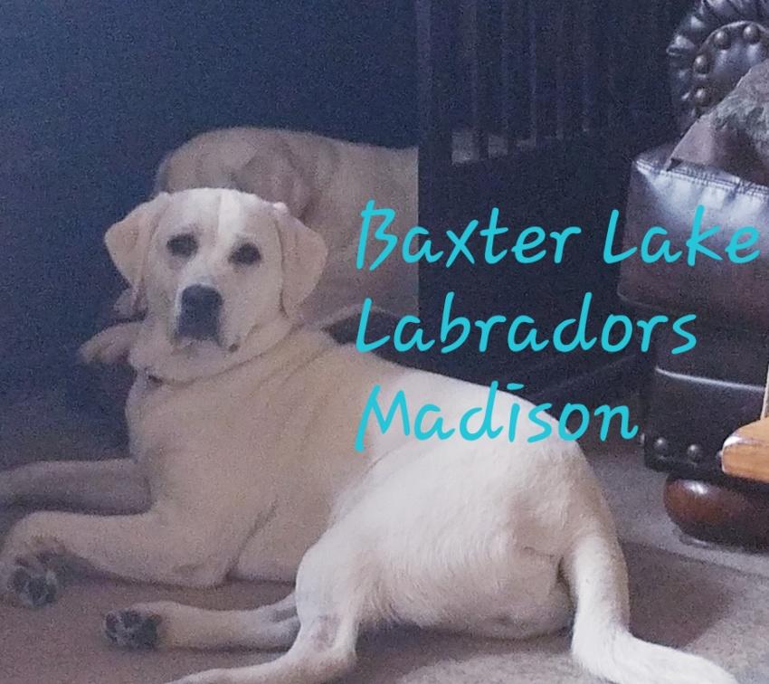 Baxter Lakes Labradors - Madison