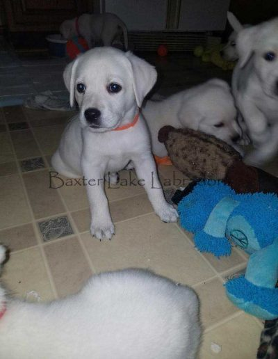 Male White Labrador Puppy