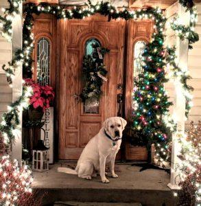 Guiness White Labrador Christmas Time