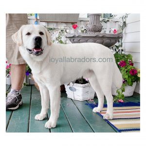 Bo - White English Labrador Sire of the 2021 Current/Upcoming Litter - Baxter Lake Labradors